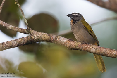 Buff-throated Saltator - Gamboa Rainforest Resort, Gamboa, Panama