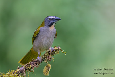 Buff-throated Saltator - Amazonia Lodge, Nr. Manu National Park, Peru