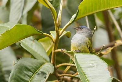 Capped Conebill - Papallacta, Ecuador