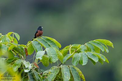 Chestnut-bellied Seed-Finch - Amazon, Ecuador