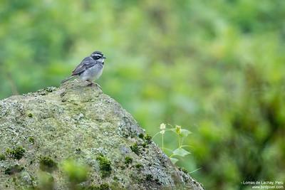Collared Warbling-Finch - Lomas de Lachay, Peru