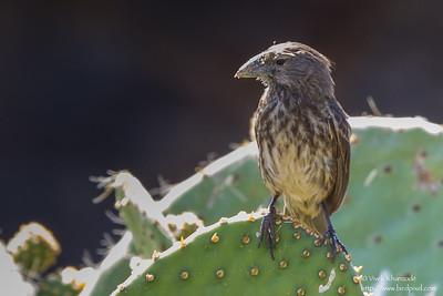 Common Cactus-Finch - Darwin Bay, Isla Genovesa, Galapagos, Ecuador