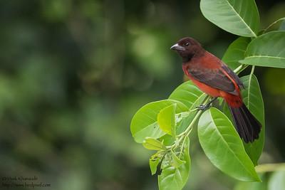 Crimson-backed Tanager - Pedro Miguel, Colon, Panama