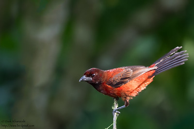 Crimson-backed Tanager - Pedro Miguel, Colon, Panama