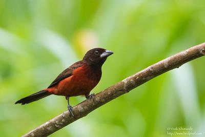 Crimson-backed Tanager - Gamboa Rainforest Resort, Gamboa, Panama