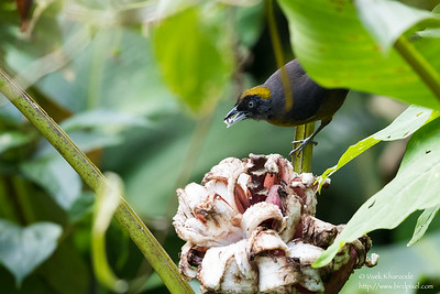 Dusky-faced Tanager - Record - El Valle, Panama