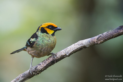 Flame-faced Tanager - Mindo, Ecuador