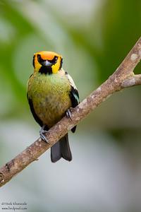 Flame-Faced Tanager - Mashpi, Ecuador