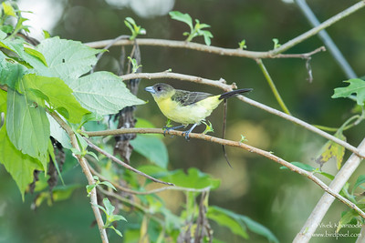 Flame-rumped (Lemon-rumped) Tanager - Mindo, Ecuador