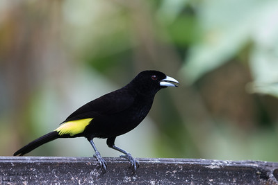 Flame-rumped Tanager - Record - Mindo, Ecuador