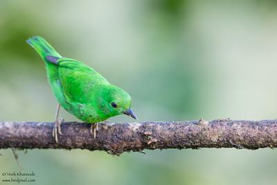 Glistening-Green Tanager - Mashpi, Ecuador