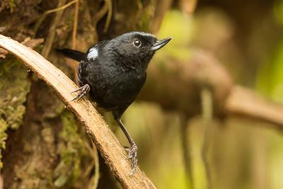 Glossy Flowerpiercer - Papallacta, Ecuador