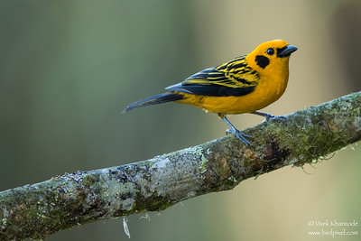 Golden Tanager - Mindo, Ecuador