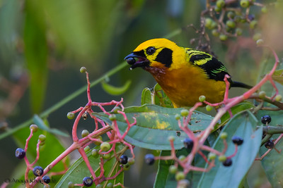 Golden Tanager - Cock-of-the-Rock Lodge, Nr. Manu National Park, Peru