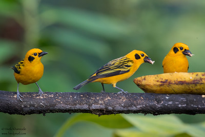 Golden Tanagers at feeder - Mashpi, Ecuador