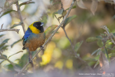 Golden-collared Tanager - Wayquecha Lodge, Peru