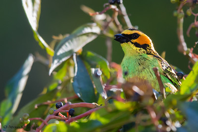 Golden-eared Tanager - Cock-of-the-Rock Lodge, Nr. Manu National Park, Peru