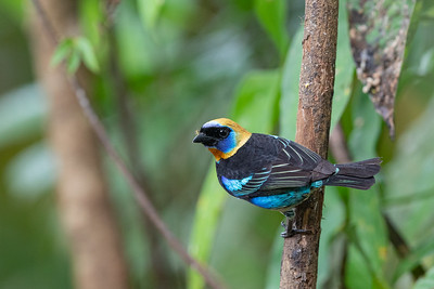 Golden-hooded Tanager - Alajuela, Costa Rica