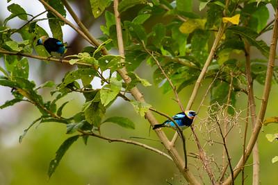 Golden-hooded Tanager - Cartago, Costa Rica