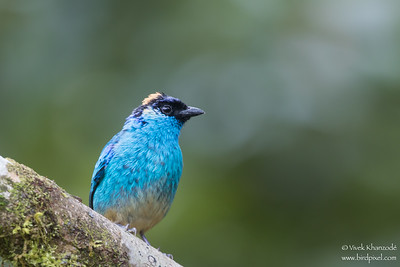 Golden-naped Tanager - Mindo, Ecuador