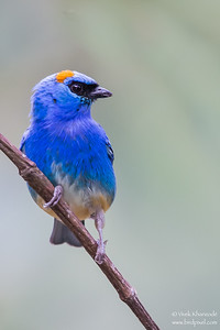 Golden-naped Tanager - Aguas Calientes, Peru