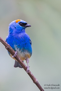 Golden-naped Tanager - Inkaterra Resort, Aguas Calientes, Peru