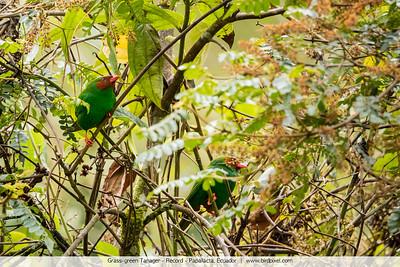 Grass-green Tanager - Record - Papallacta, Ecuador