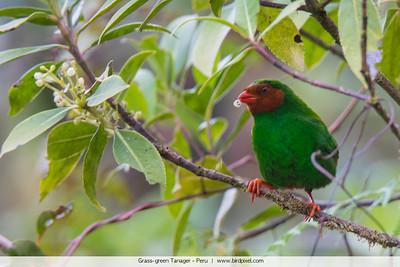 Grass-green Tanager - Peru