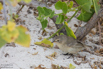 Gray Warbler-Finch - Galapagos, Ecuador