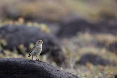 Warbler Finch - Galapagos, Ecuador