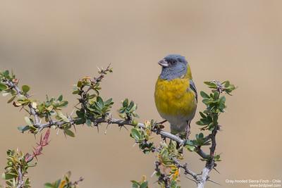 Gray-hooded Sierra-Finch - Chile