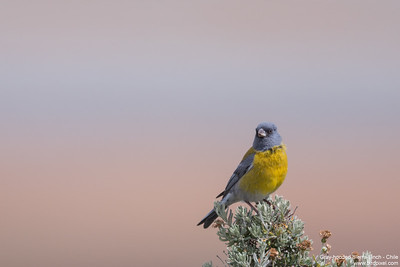Gray-hooded Sierra-Finch - Chile