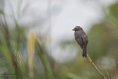 Grayish Saltator - Crooked Tree, Belize