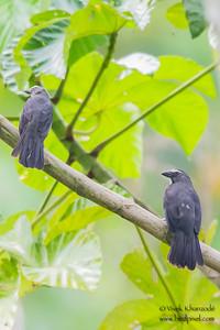 Grayish Saltator - Record - Tambo Blanquillo Clay Lick, Manu Biosphere Preserve, Peru