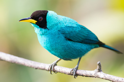 Green Honeycreeper - Male - Asa Wright Nature Center, Trinidad