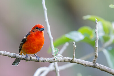 Hepatic Tanager - San Jose, Costa Rica