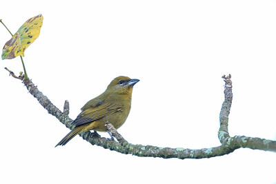 Hepatic Tanager - Female - Hidden Valley, Belize