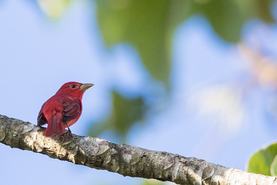 Hepatic Tanager - Record - Green Hills, Belize