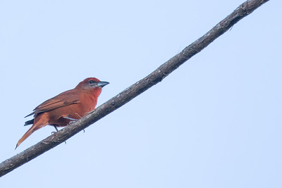 Hepatic Tanager - Record - Hidden Valley Inn & Reserve, Belize
