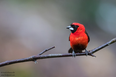 Masked Crimson Tanager - Amazon, Ecuador