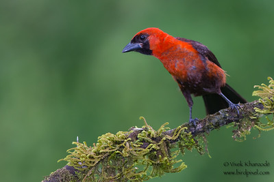 Masked Crimson Tanager - Amazonia Lodge, Nr. Manu National Park, Peru