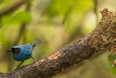 Masked Flowerpiercer - Papallacta, Ecuador