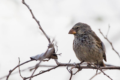 Medium Ground-Finch -Urvina Bay, Isla Isabela, Galapagos, Ecuador