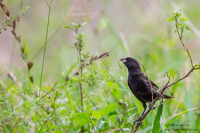 Medium Ground-Finch - Isla Floreana, Galapagos, Ecuador