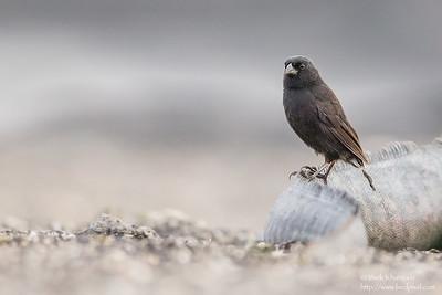 Medium Ground-Finch - Male - Punta Espinosa, Isla Fernandina, Galapagos, Ecuador