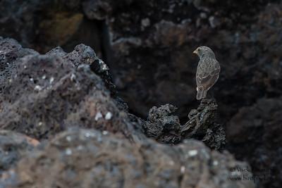 Medium Ground-Finch - Punta Moreno, Isla Isabela, Galapagos, Ecuador