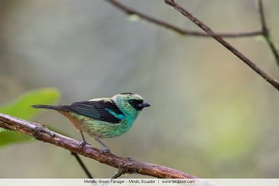 Metallic-Green Tanager - Mindo, Ecuador
