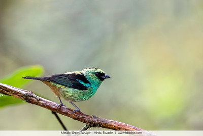Metallic-Green Tanager - Mindo, Ecuador