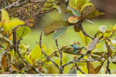Metallic-Green Tanager - Peru