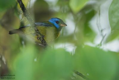 Moss-backed Tanager - Mashpi, Ecuador